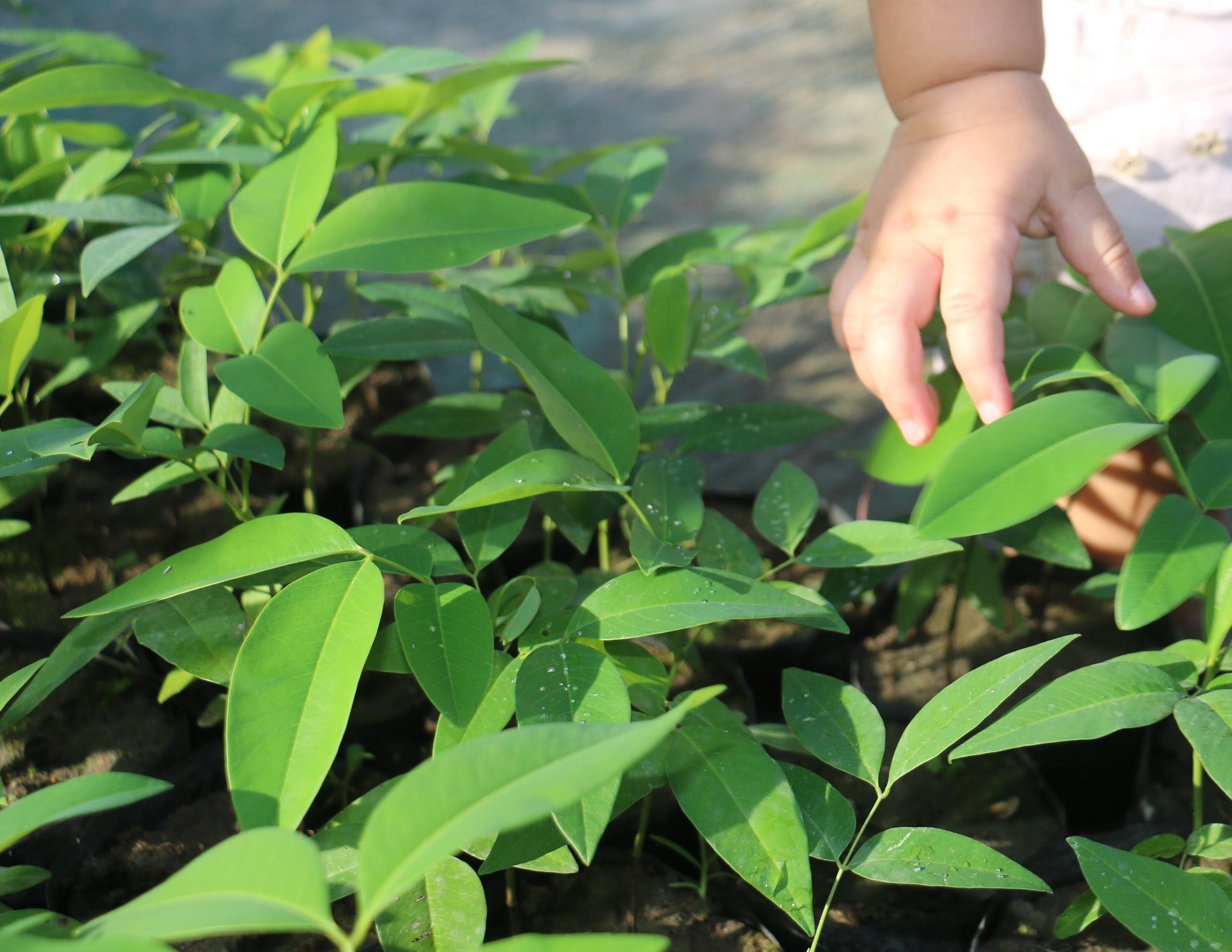 Canaã dos Carajás produzirá 200 mil mudas de árvores