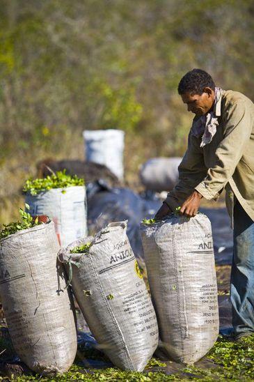 Jaborandi é fonte de renda para extrativistas na Floresta Nacional de Carajás