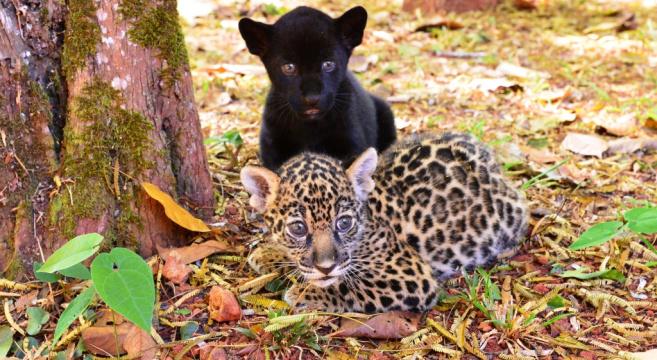 Filhotes de onça-pintada nascem em Parque Zoobotânico de Carajás