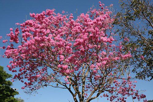 Florada dos ipês enche de cor as ruas de Parauapebas