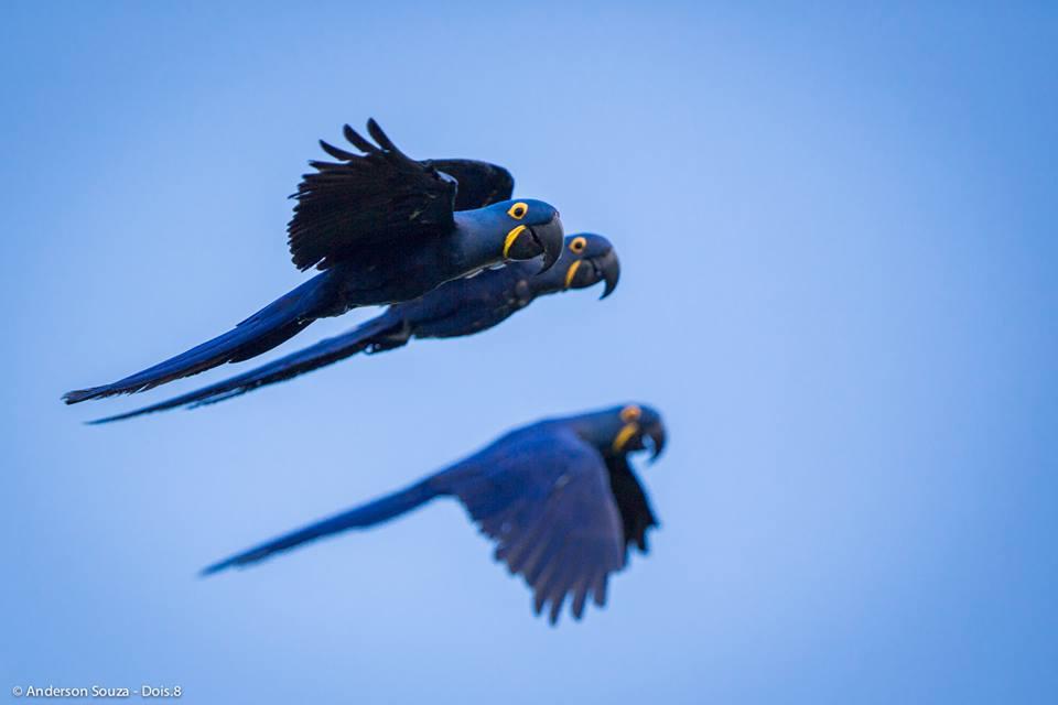 Estudos ampliam conhecimento sobre a Arara-Azul-Grande em Carajás