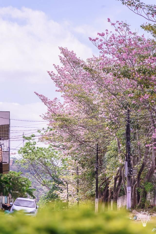 Florada dos ipês encanta moradores de Parauapebas