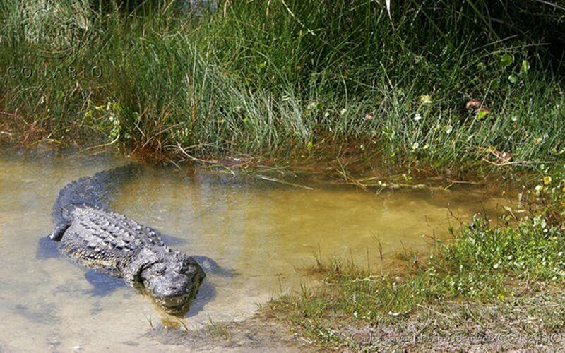 Homem é devorado por crocodilo após fugir da quarentena para pescar