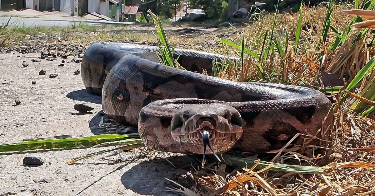 Cobra sucuri é encontrada nas proximidades de escola pública em Parauapebas