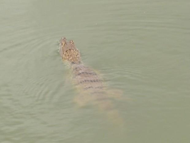 Jacaré é visto por moradores no lago do bairro Nova Carajás em Parauapebas